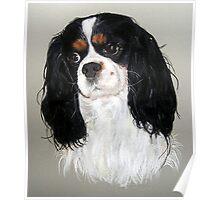 Cavalier King Charles Spaniel Dog Portrait Poster