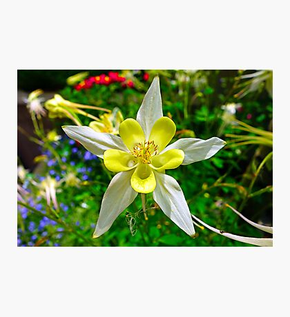 Pale Yellow Columbine Photographic Print