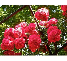 Governor Generals Roses 36 Photographic Print