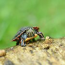 Baby Painted Turtle by Sara Bawtinheimer