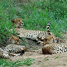 TAILS UP, OBSERVING! - CHEETAH – Acinonyx jabatus – Die Jagluiperd by Magaret Meintjes