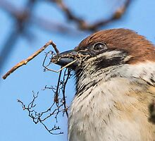 Tree Sparrow by MikeSquires