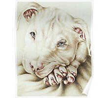 White Pit Bull Dog Drawing Poster