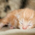 Newborn Orange/Ginger Kitten by Liam Liberty