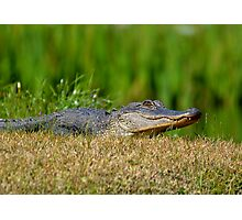 Young Alligator Sunbathing Photographic Print