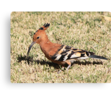 African Hoopoe - Upupa africana Canvas Print