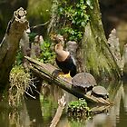 Anhinga And Turtles In The Swamp by Kathy Baccari