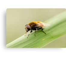 Wooly Bear Hover Fly Canvas Print