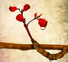 Red Hawthorn Berries by luckypixel