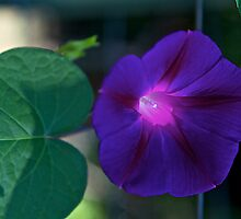 Morning Glory Aglow by John Butler