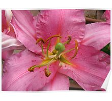 Bee Ready - Pink Lily Macro Poster