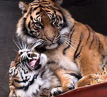 Affectionate Tigers by Richard Shakenovsky