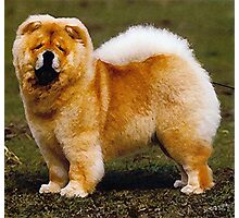 Chow Chow Dog Portrait Photographic Print