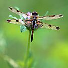Dragonfly - Pink Clover by T.J. Martin