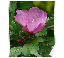Pink Rose of Sharon Poster