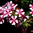 Peppermint Flowers by rosaliemcm