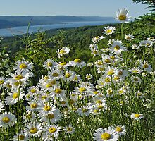 Daisies in Bras D'Or by CanadaJon