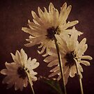 Daisies by Dannyboy2247