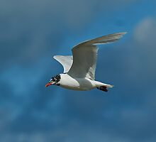 Mediterranean Gull in Flight by VoluntaryRanger