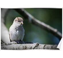 Baby Sparrow Poster