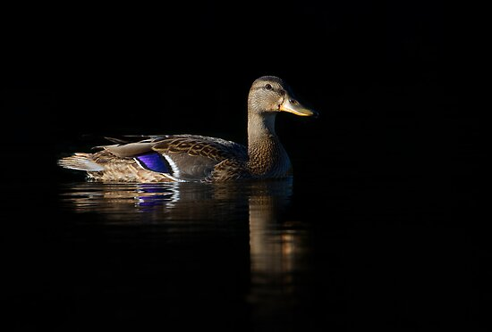 ♫ Black duck in July ♪ Black duck in July ♫ by Jim Cumming
