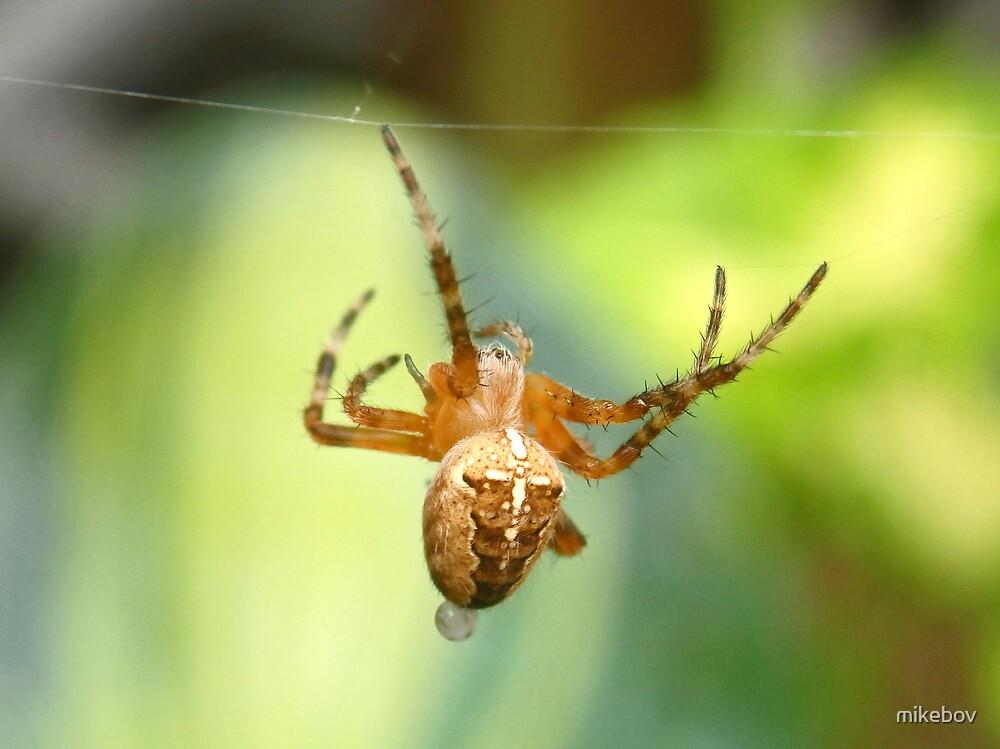 Garden Spider by mikebov