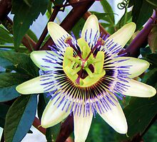 Passion Flower by Kevin Cartwright