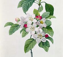 Apple Blossom by Bridgeman Art Library