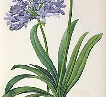 Agapanthus umbrellatus by Bridgeman Art Library