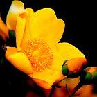 Golden Beauty  by RonanH