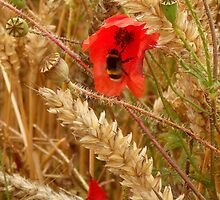 Poppy amongst the Corn by mikebov