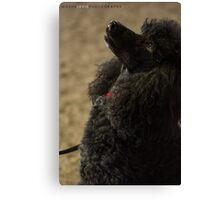 Black Poodle Portrait Canvas Print
