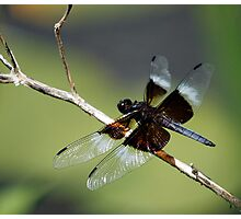 Widow Skimmer Photographic Print
