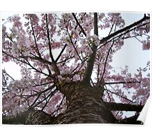 Apple Tree Trunk With Blossoms Poster