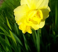 Daffodils In The Spring by Ivy Lord