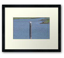 Perched Cape Gull Framed Print