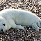 Seal Pup 4 by Ellesscee