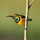 Male Sunbird. by cathywillett