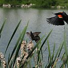 Redwing Blackbird Pair by Ron Russell