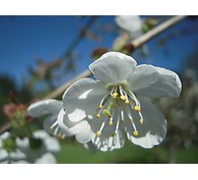 Spring Time Blossoms Photographic Print