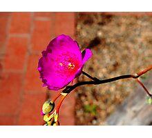 Grandiflora Photographic Print