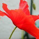 Poppy by Jan Carlton