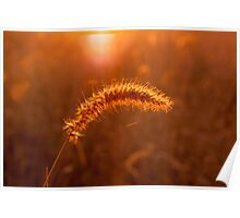 Grass Stalk at Sunrise Poster
