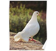 White Dove II Poster