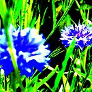 Cornflower by thepicturedrome