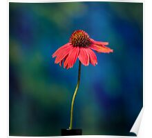 Portrait of an Echinacea Poster
