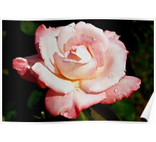 Dewy pink rose Poster