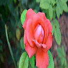 Salmon Rose by lyssuhhh