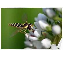 Hoverfly on Loosestrife Poster