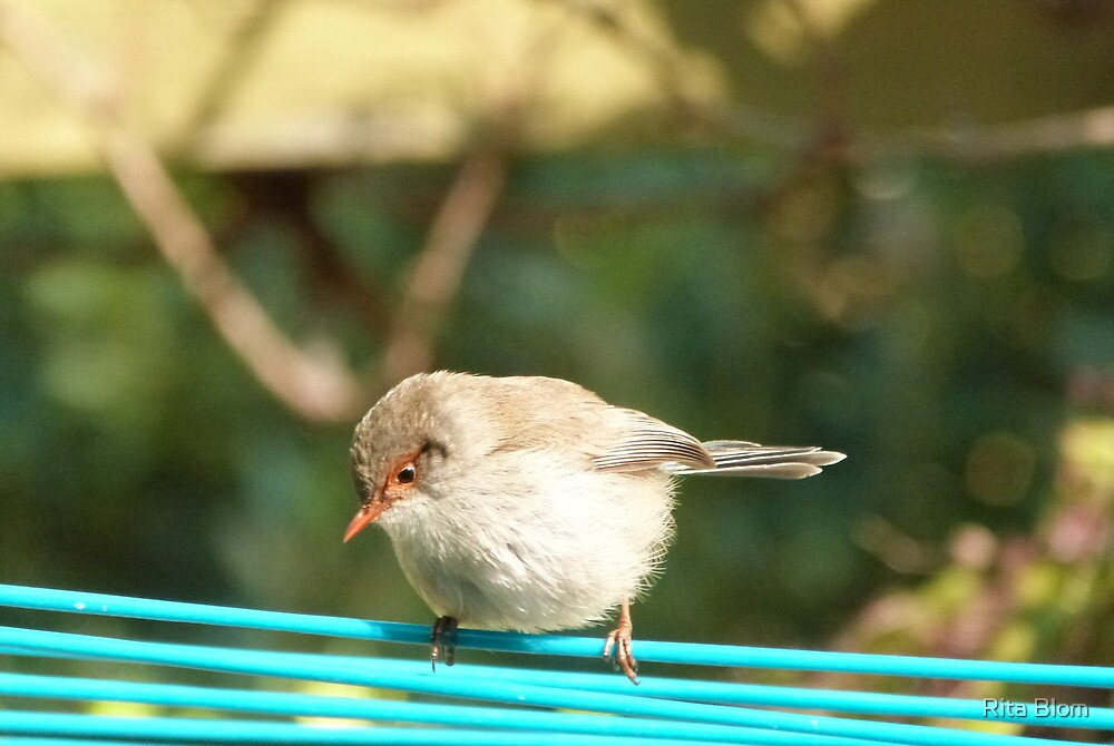 'The High Wire Act!' Female Fairy Wren, Adelaide Hills. S.A. by Rita Blom